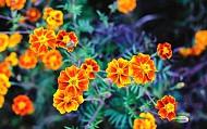 Đẹp Say Đắm Mùa Hoa Cúc Cam Nở Rộ Hà Giang