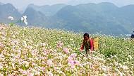Hà Giang Sẽ Tổ Chức Lễ Hội Hoa Tam Giác Mạch Vào Tháng 10