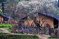 Hoa Nở Rực Trên Miền Đá Hà Giang Những Ngày Xuân Về