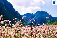 """hoa tam giác mạch ở Hà Giang Những cái tên làm nên """"thương hiệu"""""""