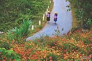 Mùa Hoa Cúc Dại Hà Giang - Nét Riêng Mùa Thu Vùng Cao Nguyên Đá