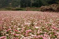 Những Điểm Đến Ngắm Hoa Tam Giác Mạch Đẹp Bậc Nhất Hà Giang