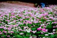Những Điểm Ngắm Hoa Tam Giác Mạch Đẹp Ngất Ngây