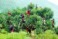 Quần Thể Chè San Tuyết Ở Hà Giang Được Công Nhận Cây Di Sản