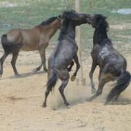 Tưng Bừng Lễ Hội Đấu Ngựa Hà Giang