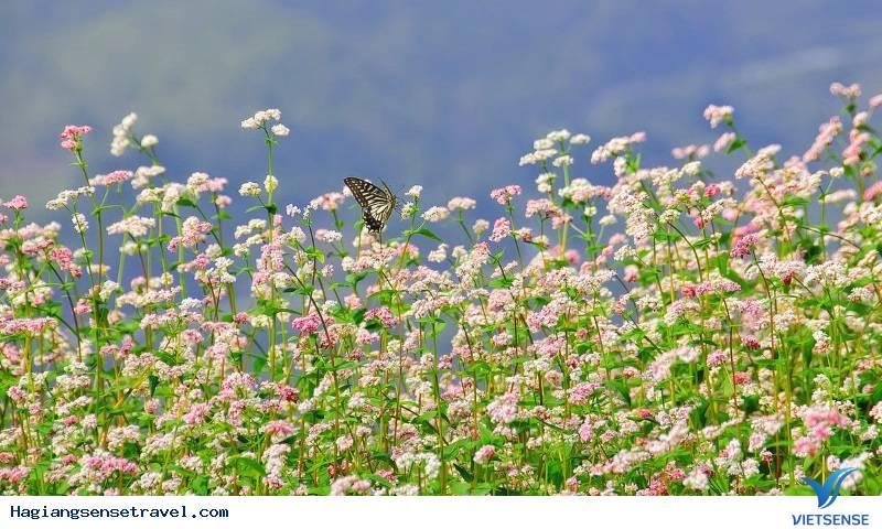 Đẹp Lịm Tim Mùa Hoa Tam Giác Mạch Tháng 10 Ở Hà Giang