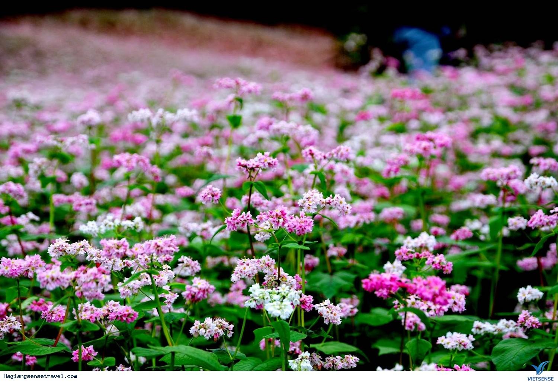 Những Điểm Ngắm Hoa Tam Giác Mạch Đẹp Nhất  Ở Hà Giang