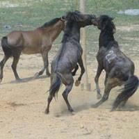 Tưng Bừng Lễ Hội Đấu Ngựa Hà Giang,tung bung le hoi dau ngua ha giang